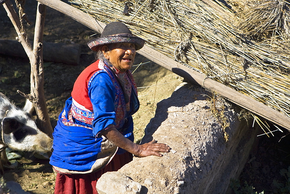 High angle view of a senior woman standing with a pig in a barn, Peru
