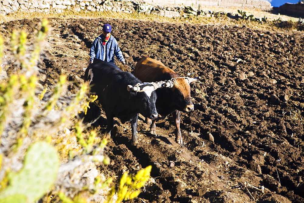 Farmer ploughing a field, Cabanaconde, Chivay, Arequipa, Peru