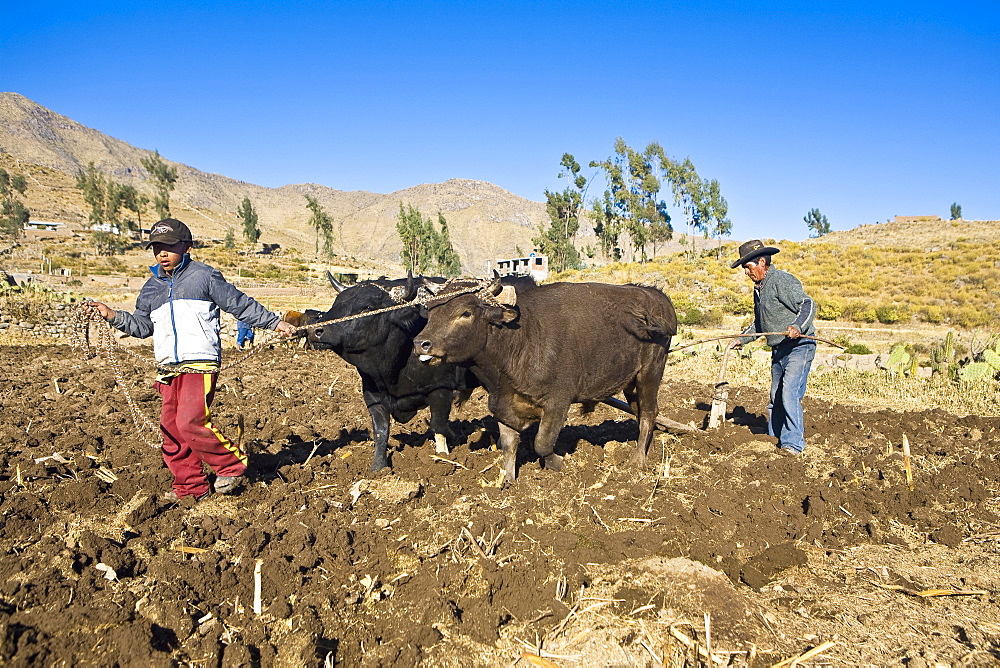Farmers ploughing field with oxen, Cabanaconde, Chivay, Arequipa, Peru