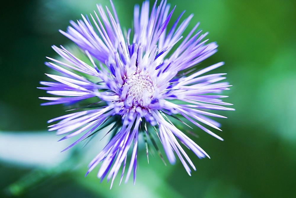 Close-up of a flower, La Spezia, Liguria, Italy