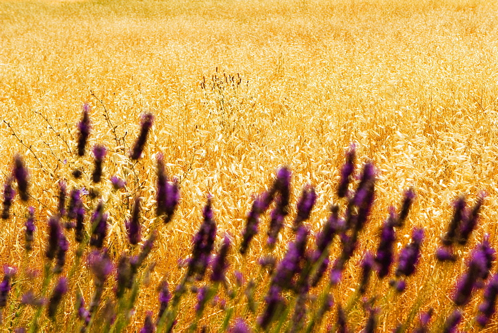 Lavender flowers in a field, Siena Province, Tuscany, Italy