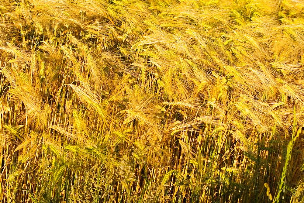 Wheat crop in a field, Loire Valley, France