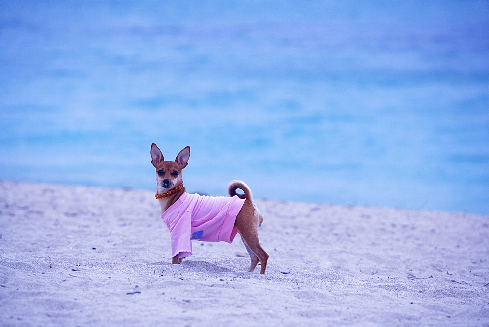 Side profile of a dog standing on the beach, South Beach, Miami, Florida, USA - 788-4989