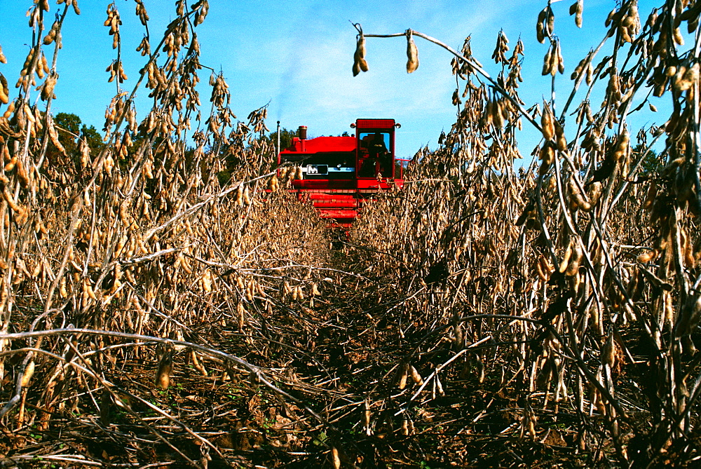 Red Combine harvesting soy beans with clear blue sky in the background in MD