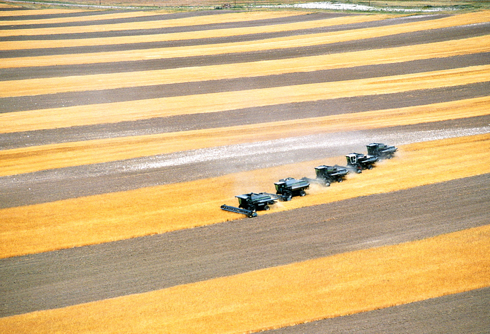 Aerial view of custom harvest combines harvesting wheat , five combines a role, WY