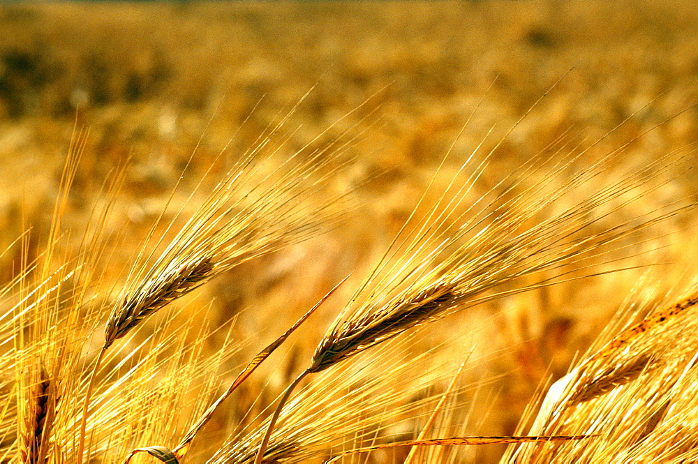 Close-up of a wheat field in southern California