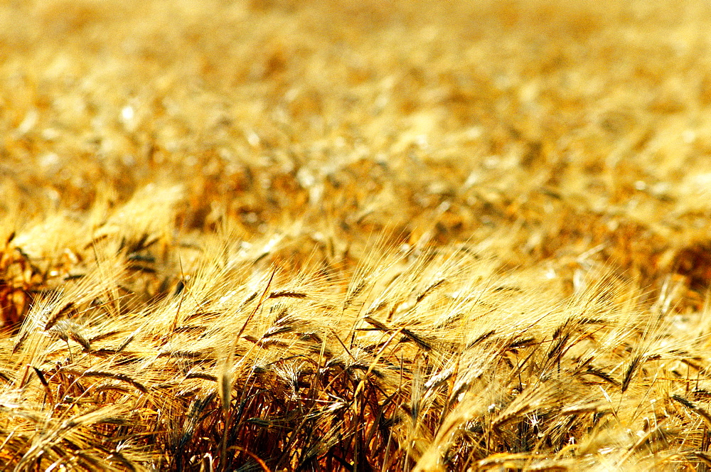 Wheat field in Southern California