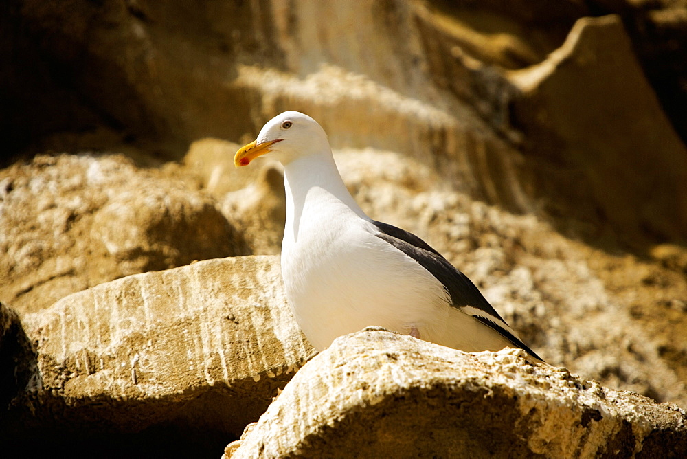 Low angle view of a seagull on a rock, La Jolla, San Diego, California, USA