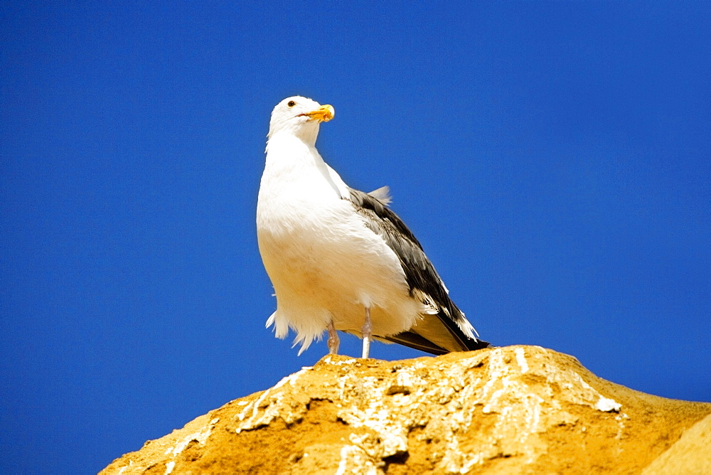 Low angle view of a seagull standing on a rock, La Jolla, San Diego, California, USA