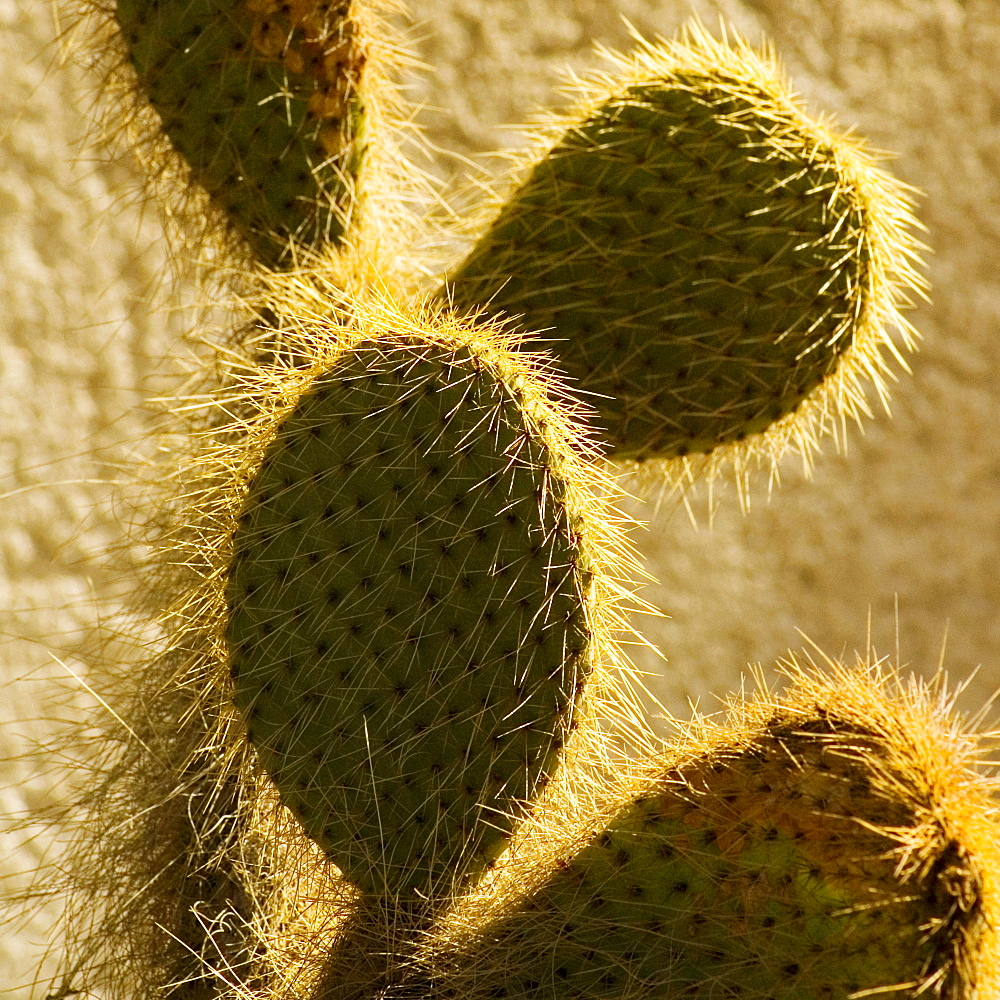 Close-up of a hairy cactus