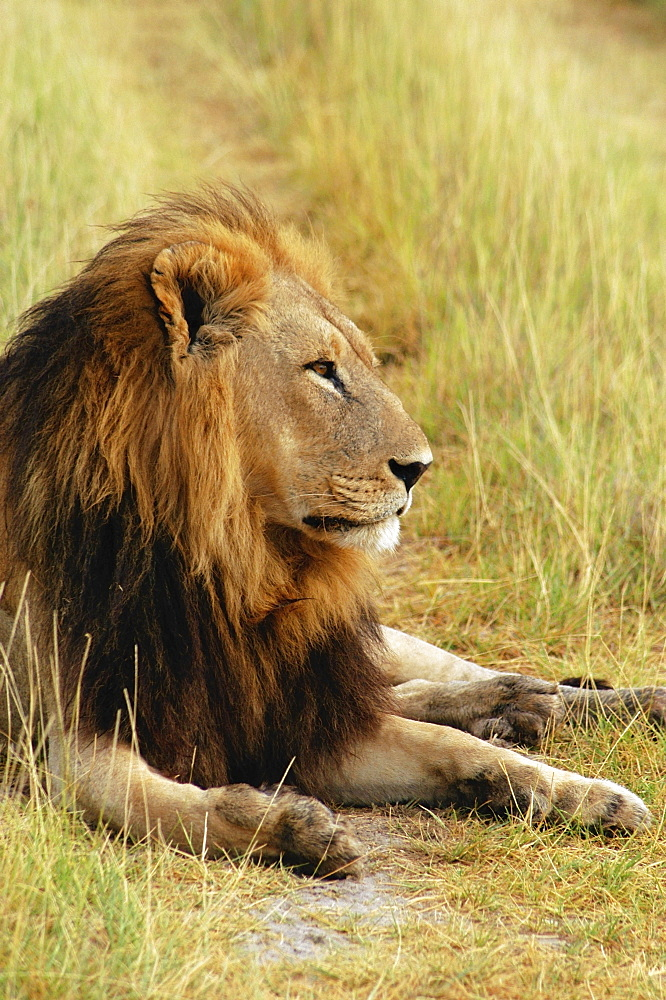 Lion (Panthera leo) resting in a forest, Okavango Delta, Botswana