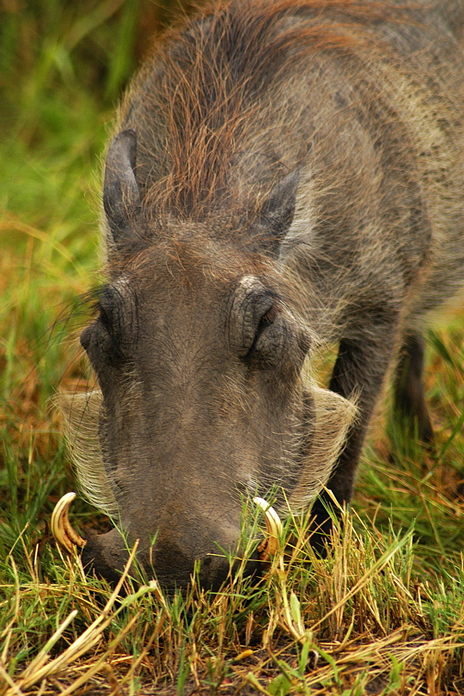 Close-up of a Warthog (Phacochoerus aethiopicus) looking for meal in a forest, Okavango Delta, Botswana