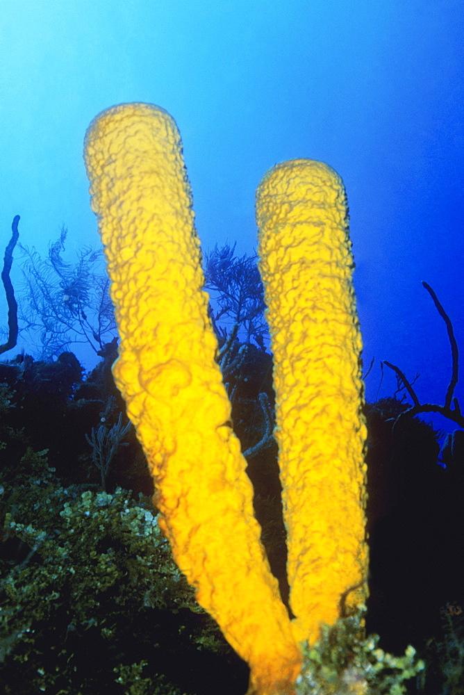Close-up of Branching Tube Sponge (Pseudoceratina crassa) underwater, Belize
