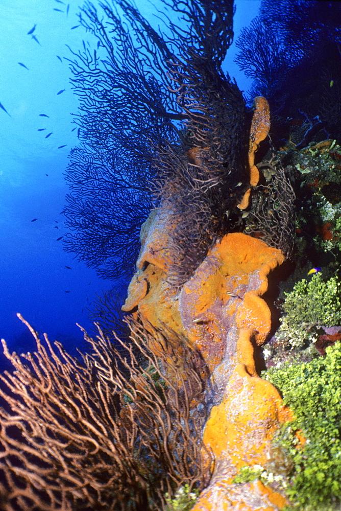 Corals underwater, Grooved-blade sea whip (Pterogorgia guadalupensis), Deep Water Gorgonian (Iciligorgia Schrammi), Orange Elephant Ear Sponge (Agelas Clathrodes), Cayman Islands, West Indies