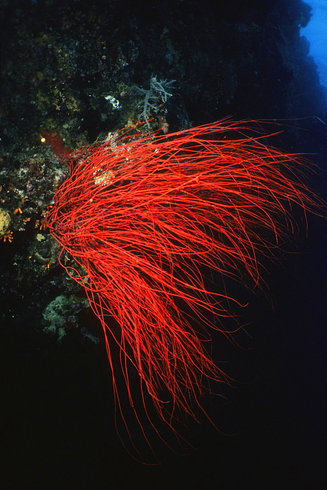Red Whip Coral underwater, Palau