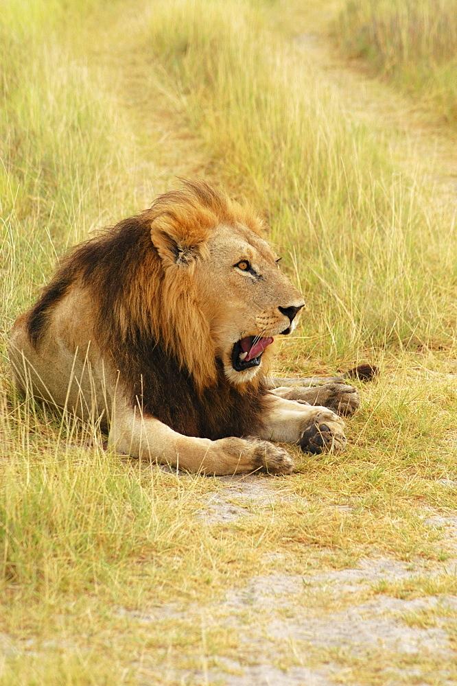 Lion (Panthera leo) sitting in a path and yawning, Okavango Delta, Botswana