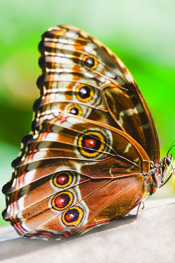 Close-up of a Blue Morpho (Morpho Menelaus) butterfly on a leaf - 788-10521