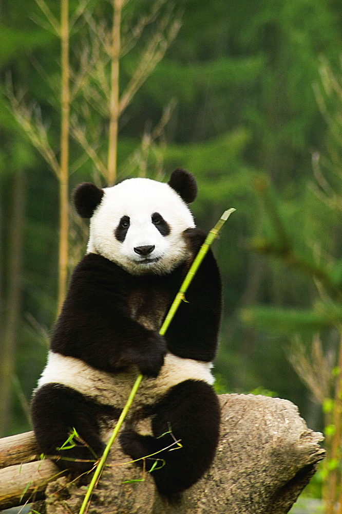 Close-up of a panda (Alluropoda melanoleuca) holding a stick - 788-10598
