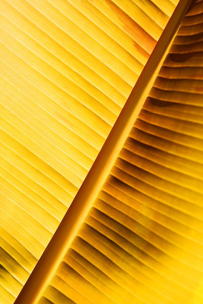 Close-up of a banana leaf, Hawaii Tropical Botanical Garden, Hilo, Big Island, Hawaii Islands, USA