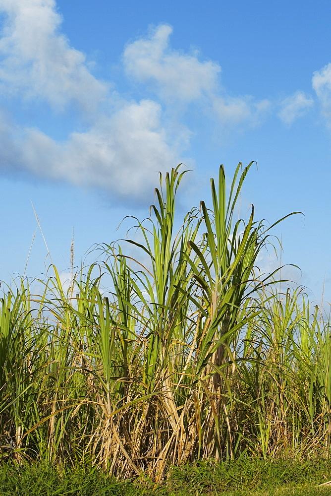 Sugar cane in a field, Hawaii Islands, USA
