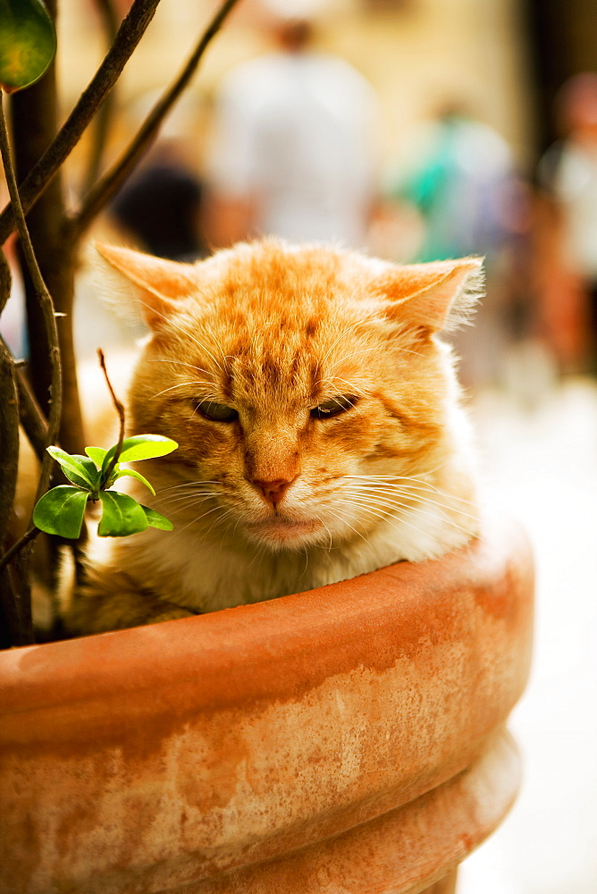 Portrait of a cat sitting in a potted plant, Via Colombo, RioMaggiore, Cinque Terre, La Spezia, Genoa, Liguria, Italy
