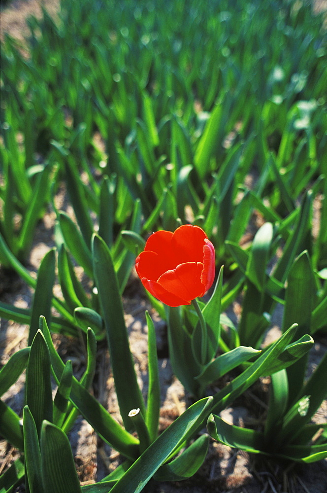 Close-up of a red flower in a field, Amsterdam, Netherlands