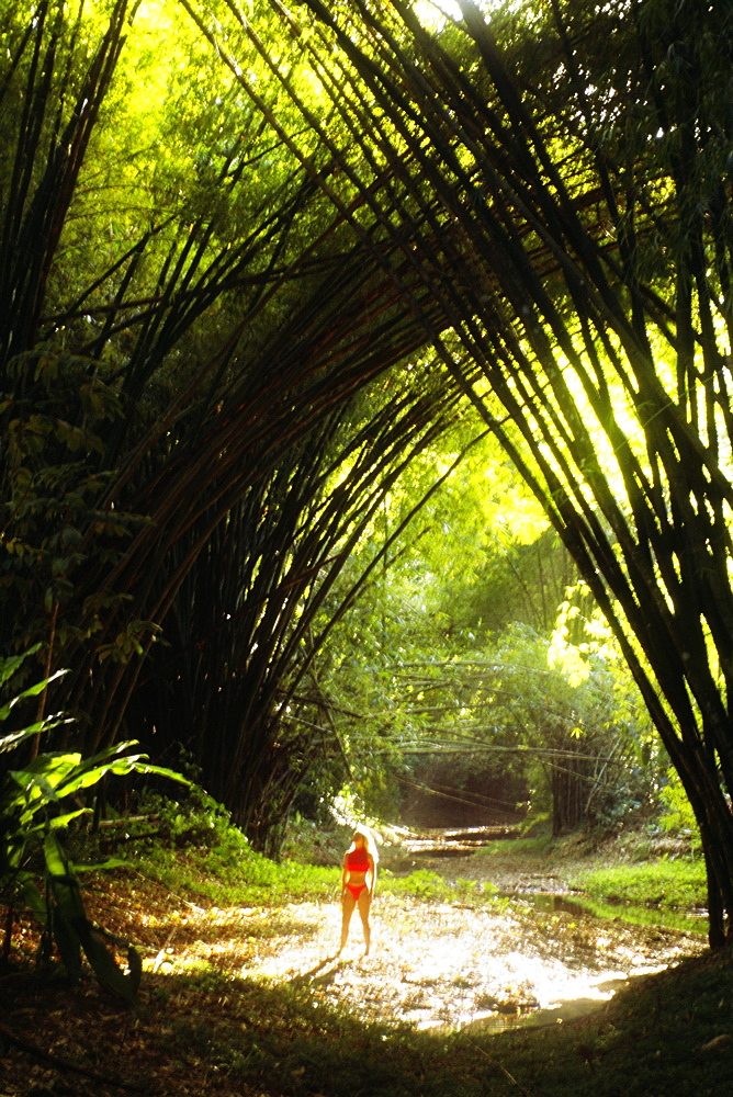 View of a dense bamboo groove, Tobago, Caribbean