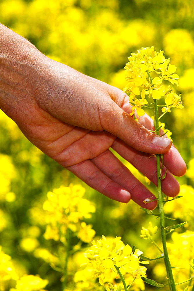 Close-up of a person's hand picking a flower