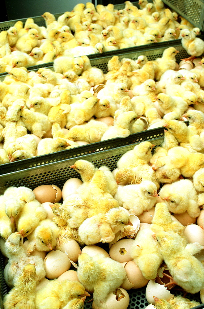 Closeup of just hatched chicks in hatchery at Halifax, N Carolina