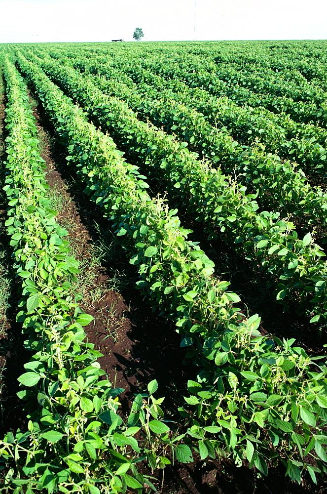 Soy bean fields, Argentina
