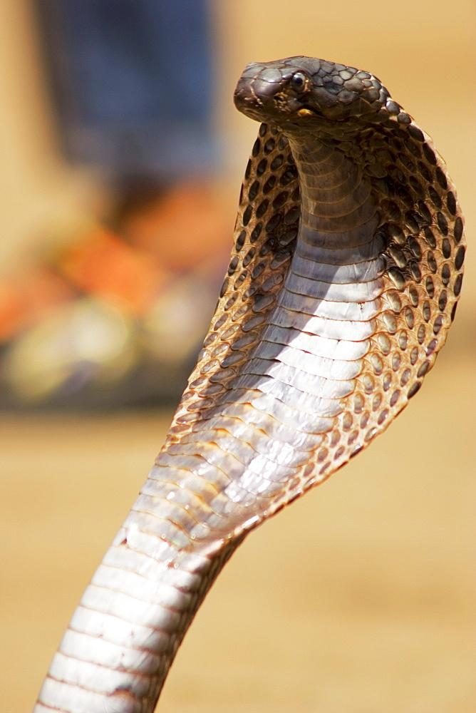 Close-up of a cobra, Pushkar, Rajasthan, India