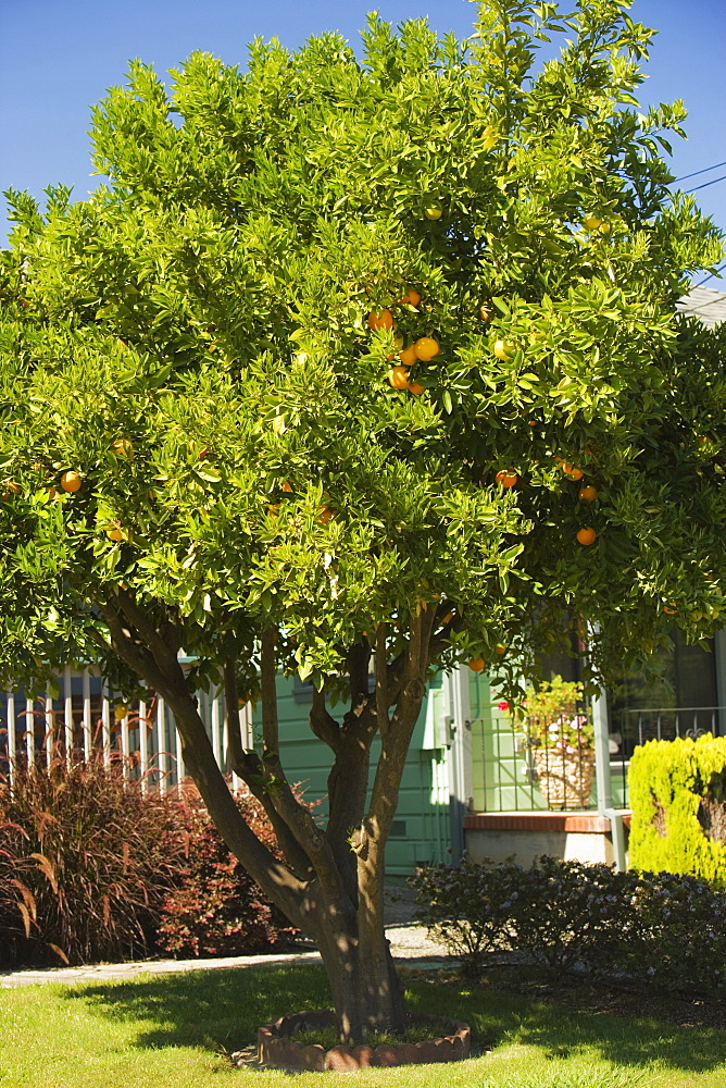 Orange tree in front of a house