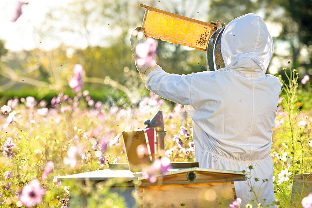 Beekeeper checking honey on beehive frame in field full of flowers