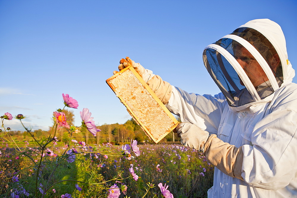 Beekeeper, holding beehive frame of honey up to the sun, in field full of flowers
