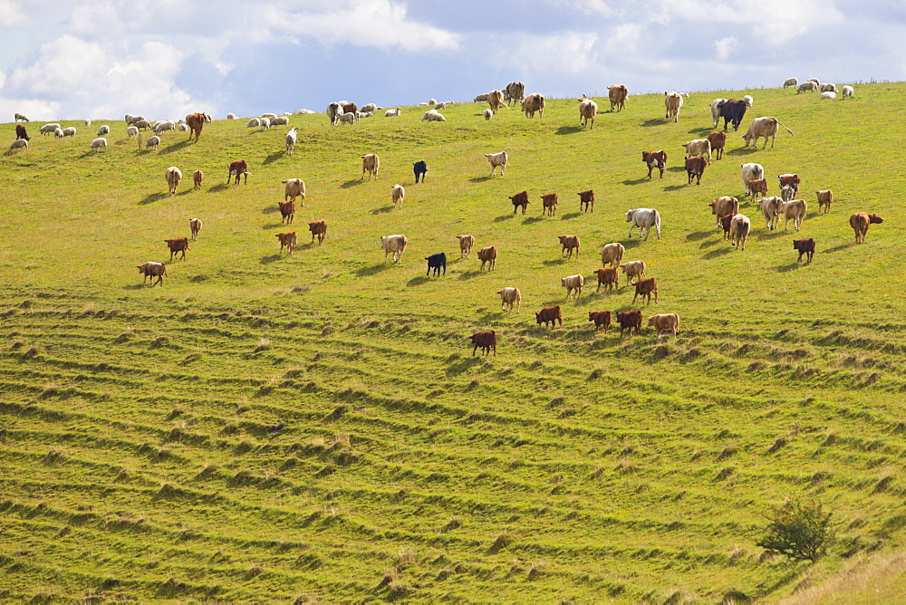 Large herd of cows on hillside