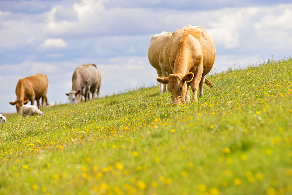 Herd of cows in sloping rural field