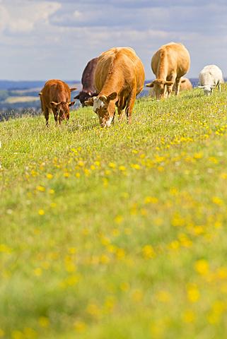 Devon Cow amongst herd, in rural field