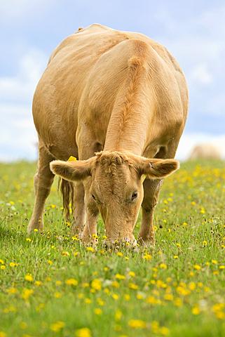 Cow grazing in rural field