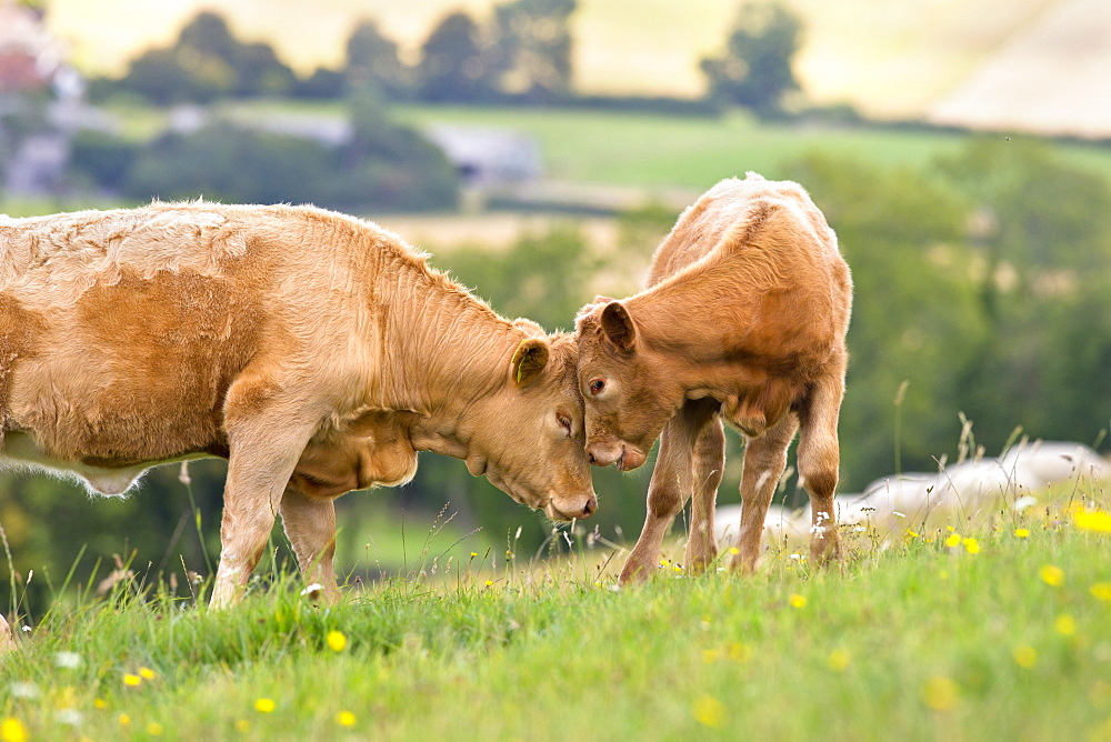 Devon Cow with calf in rural field