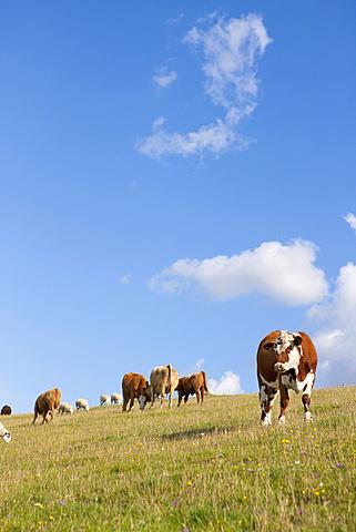 Devon Cow amongst herd in rural field