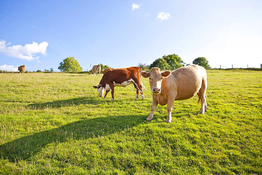Herd of cows in rural field