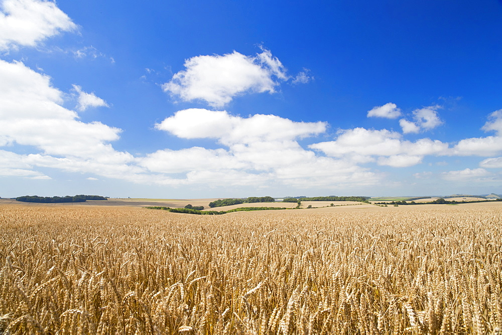 Wide Angle View Of Wheat Crop Growing In Field With Blue Sky