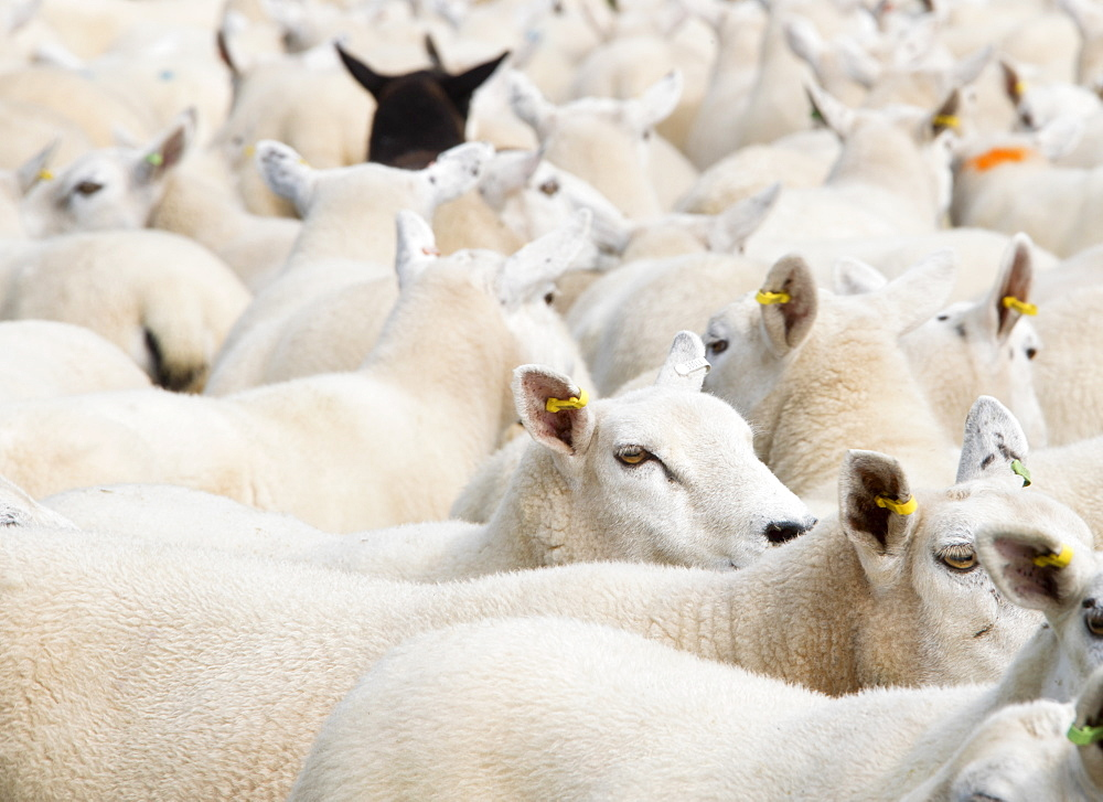 Full Frame Shot Of Flock Of Sheep - 786-10295
