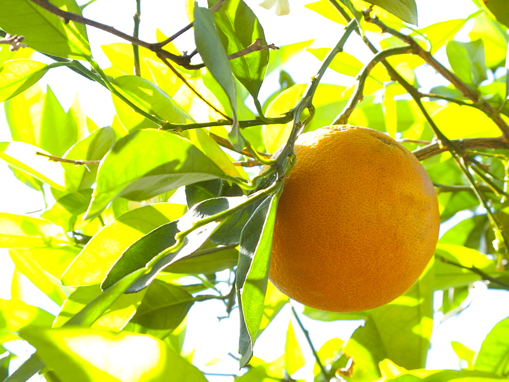 Close up of orange growing on tree