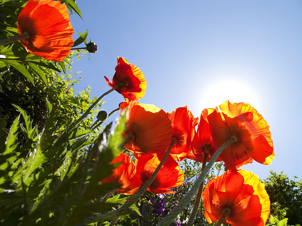 Sun shining above poppies