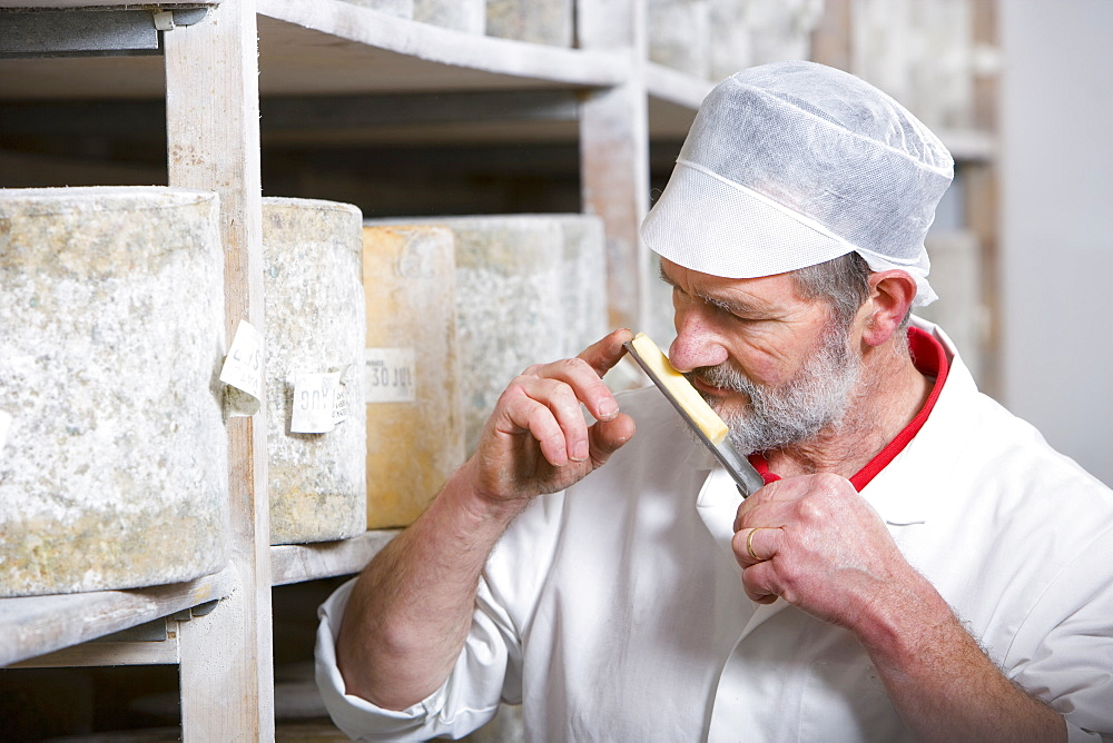 Cheese maker smelling sample of farmhouse cheddar on cheese iron