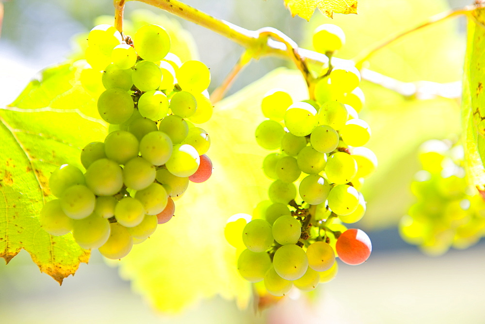 Close up of growing green grapes on vine