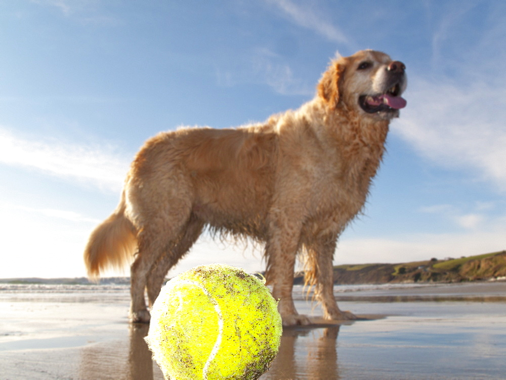 Dog enjoying beach and tennis ball at Gerrans Bay, Cornwall, United Kingdom