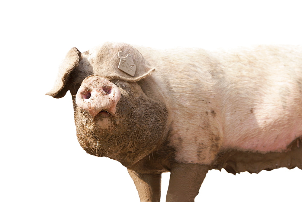 Cut Out Of Muddy Pig