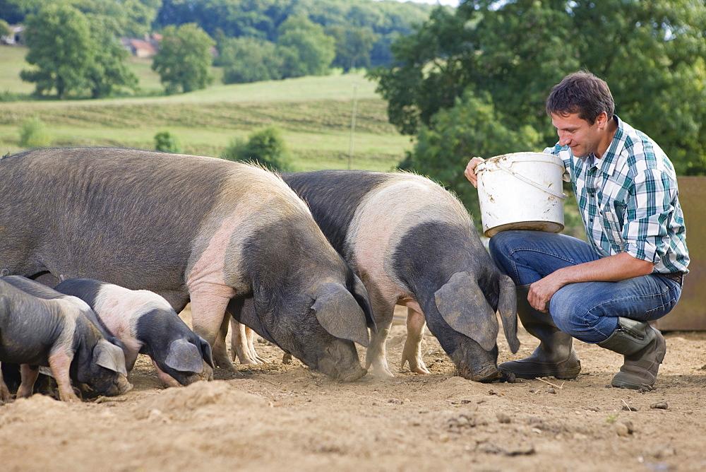 Livestock Farmer Feeding Pigs In Field - 786-9421